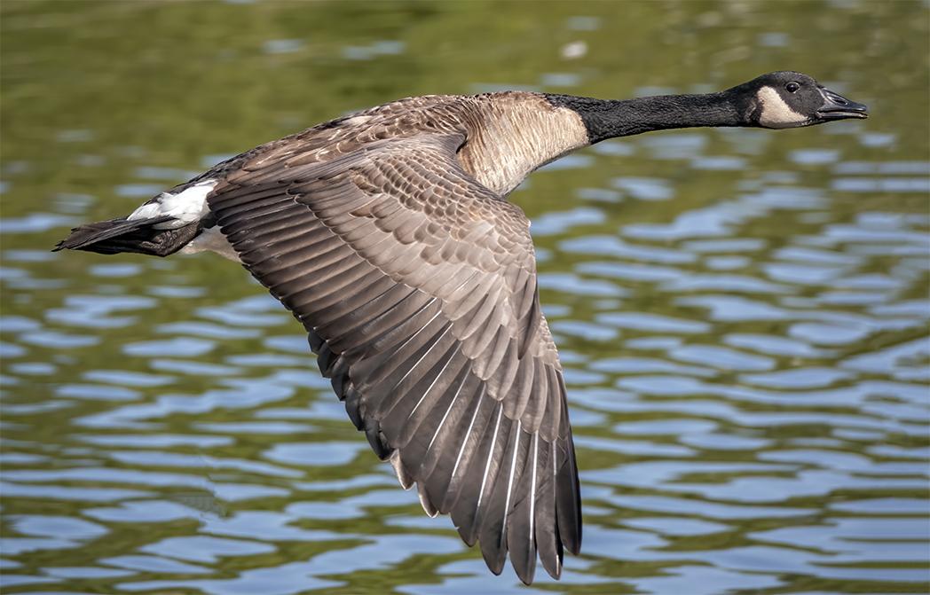 A goose is abird