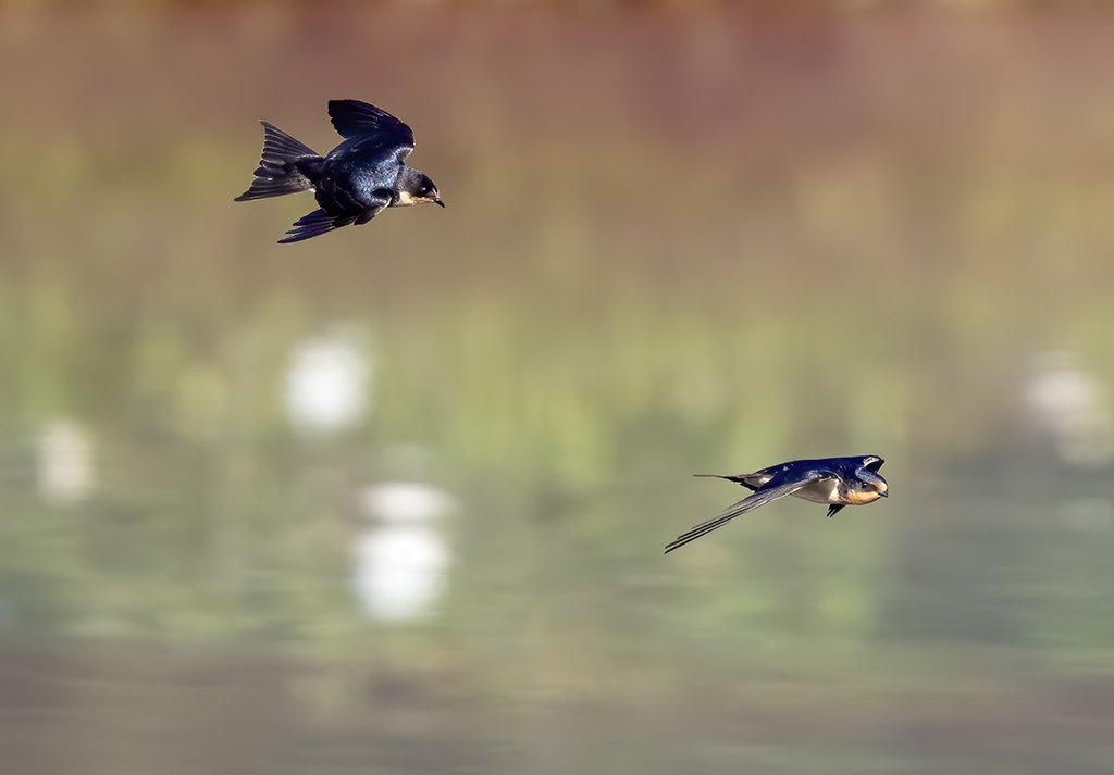Fly (and Perch) like aswallow