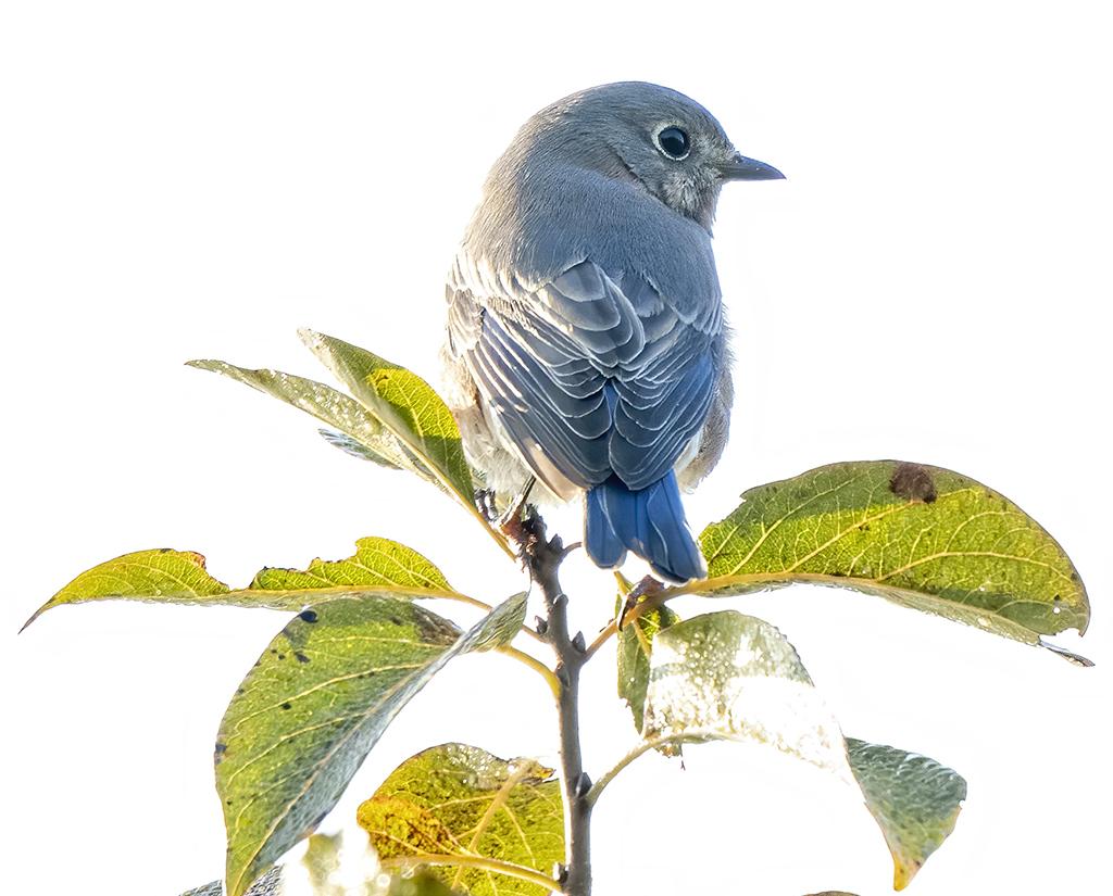 Bluebird and Company