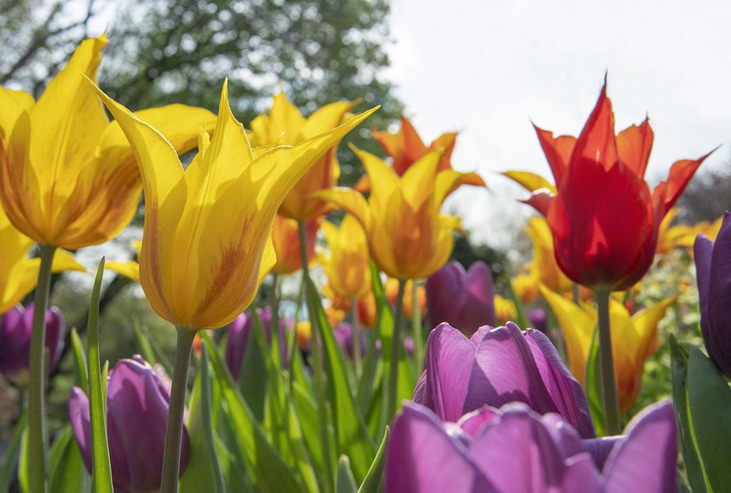 Tulips and Joy